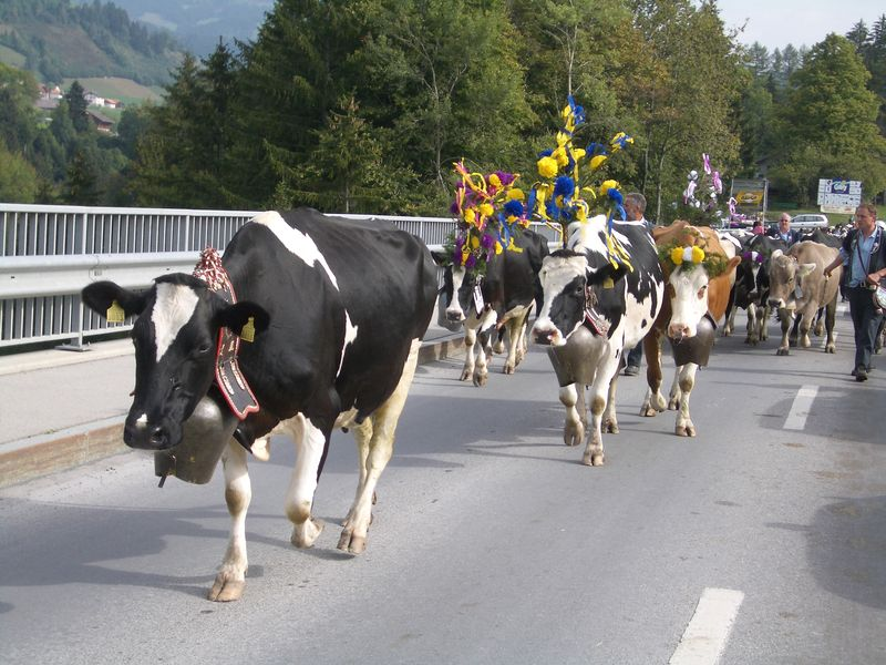 La désalpe - cows returning from the Alpine pastures for the winter