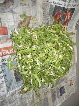 Dandelions awaiting a future salad in newspaper